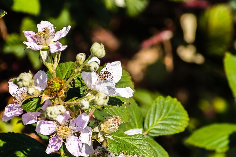 blackberry-fiore-californiano