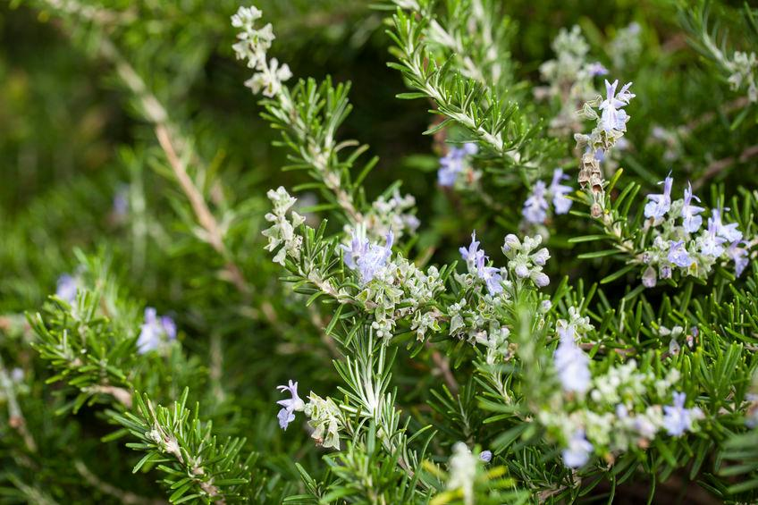 rosemary-fiore-californiano
